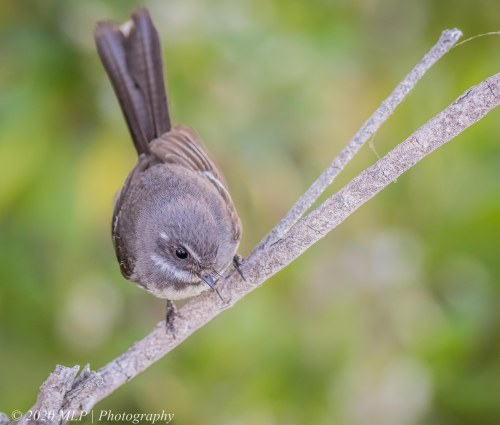 Grey Fantail, Double Creek Nature Walk, Mallacoota, Vic