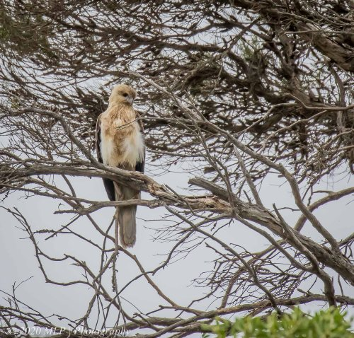 Immature Whistling Kite, Bastion Point, Mallacoota, Vic