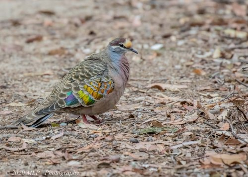 Male Common Bronzewing, Casuarina Walk, , Mallacoota, Vic