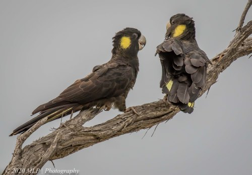 Yellow-tailed Black-cockatoo, Bastion Point, Mallacoota, Vic