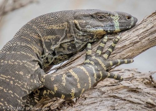 Lace Monitor, Double Creek Inlet, Mallacoota, Vic