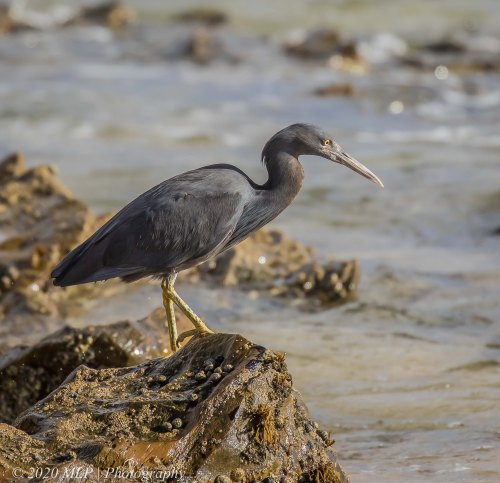 Eastern Reef Egret, Bastion Point, Mallacoota, Vic